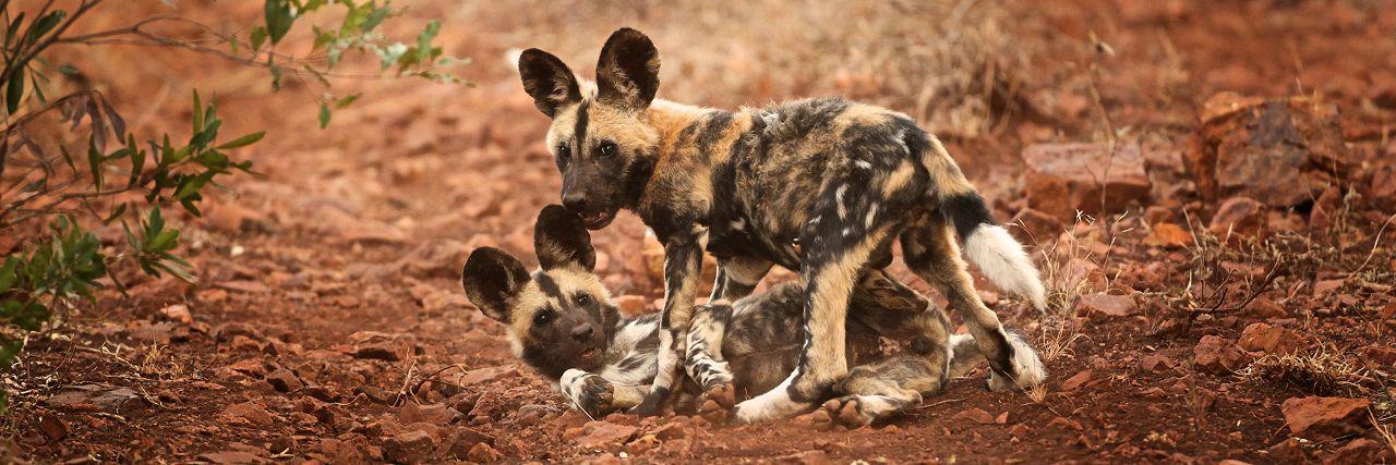 Header - Wild Dog Puppies