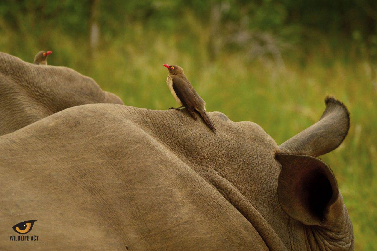 Symbiosis between Oxpecker and Buffalo. Photo by Kerryn Bullock