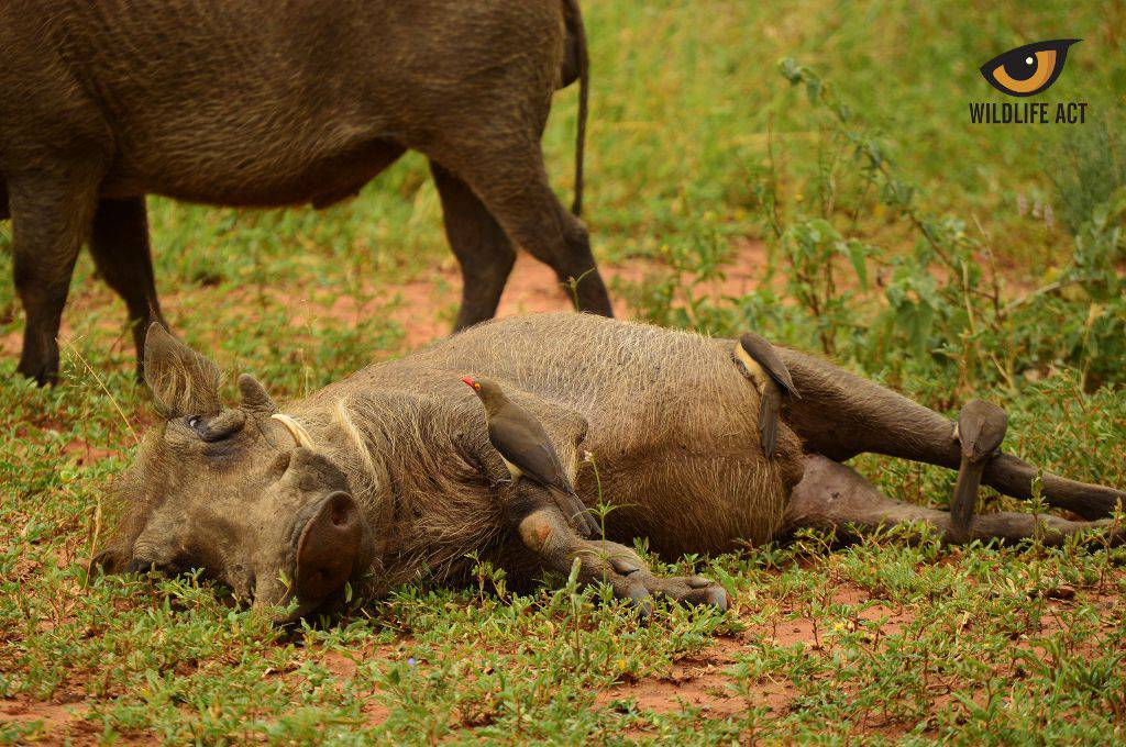Symbiosis between Oxpecker and Warthog. Photo by Kerryn Bullock