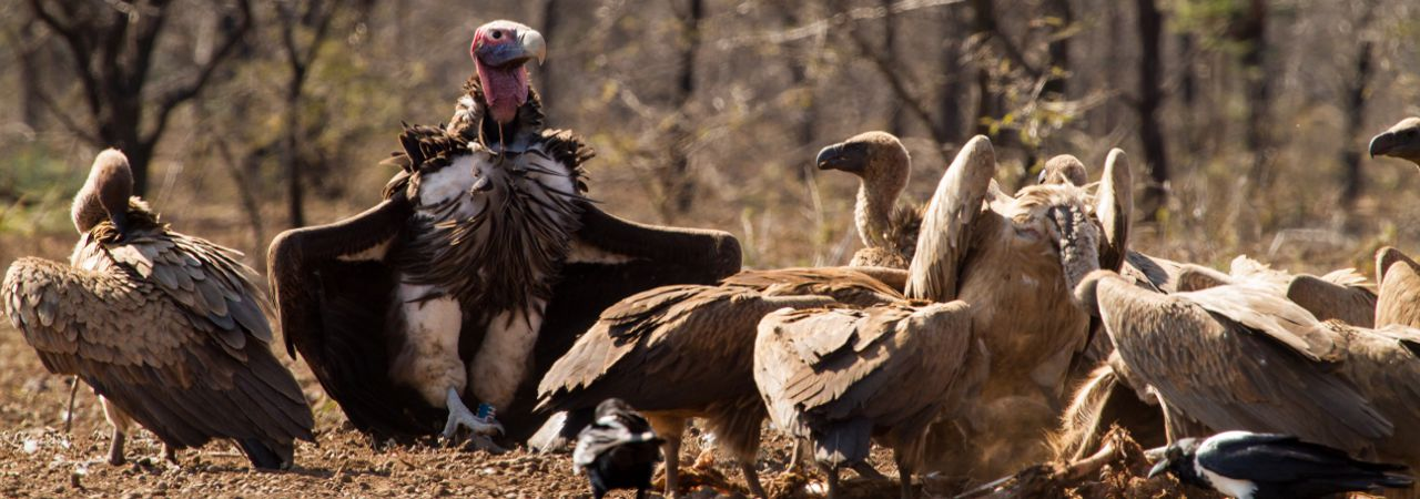 Vulture conservation of: Lappet-faced Vulture (Torgos tracheliotos): Endangered. White-backed Vultures (Gyps africanus): Critically Endangered