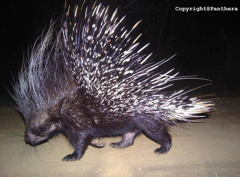Cape Porcupine (Hystrix africaaustralis)