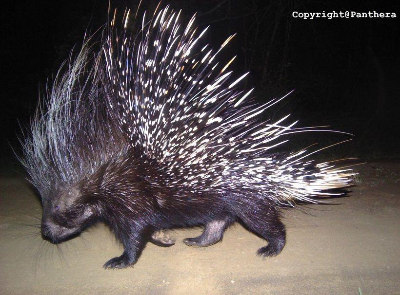 Cape Porcupine (Hystrix africaaustralis)