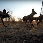 Kruger Wild Dog Release 2017