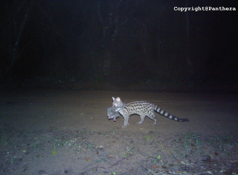 Large-spotted Genet (Genetta tigrina)