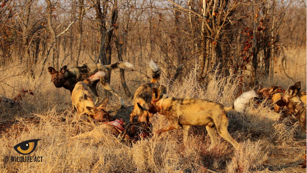 Kruger Wild Dog release. Northern Pack feeding on bait during release