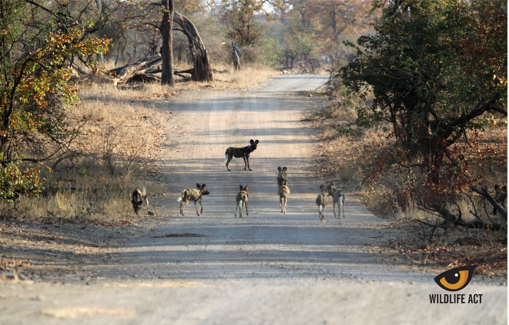 Kruger Wild Dog release. Northern Pack heading off down the road away from the holding boma near Shingwedzi