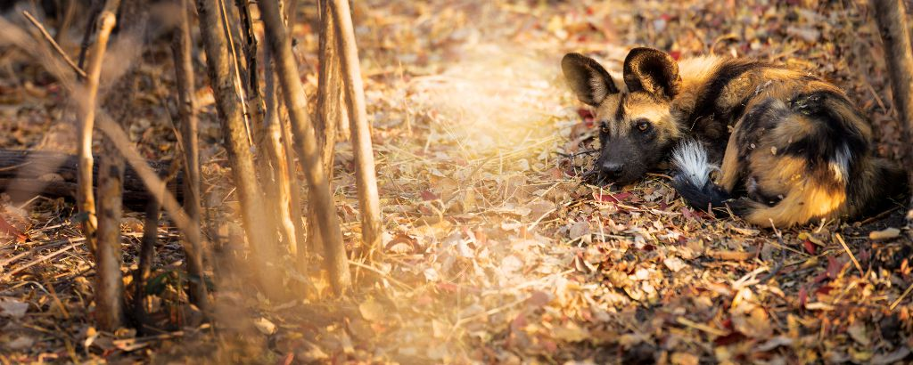 The Painted Wolf. Photo by Simon Watson (why African Wild Dogs are so endangered)