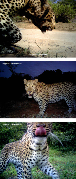Camera Trapping - Leopards
