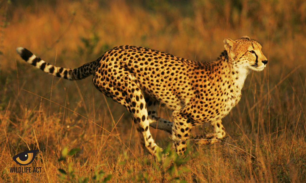 Cheetah Running - cheetah hunting strategy