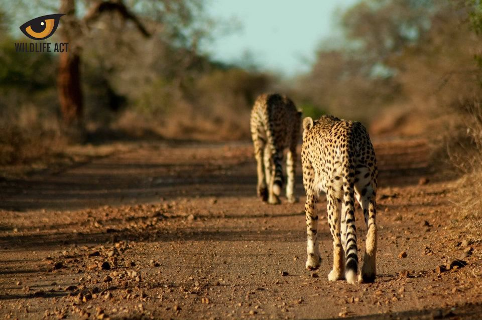 Cheetah brothers Tim and Tom Mkhuze - cheetah hunting strategy