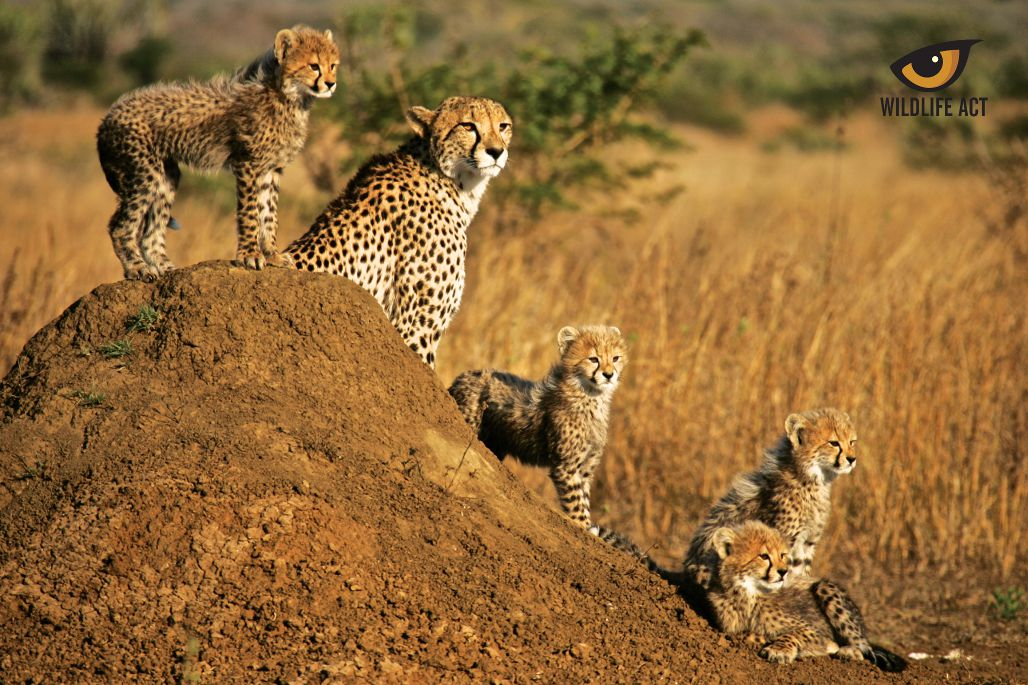 Cheetah with cubs - cheetah hunting strategy