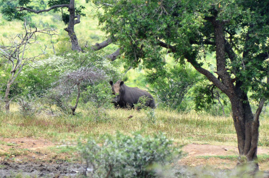 White Rhino on iMfolozi Wilderness Trail