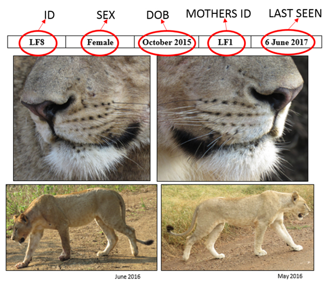 Lion whisker spots are useful for identifying individual lions.