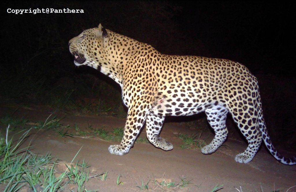 Camera trap photo of a Leopard. Photo property of Panthera - Volunteering with Wildlife ACT