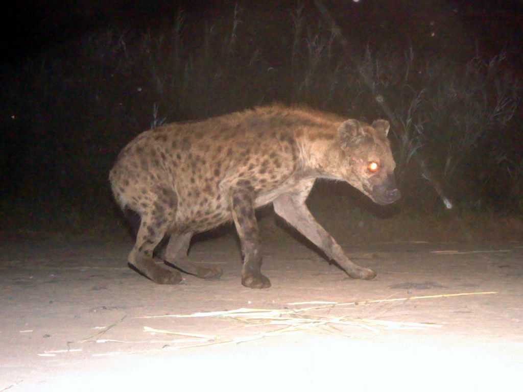 Spotted Hyena (Crocuta crocuta) on HiP Camera Trap