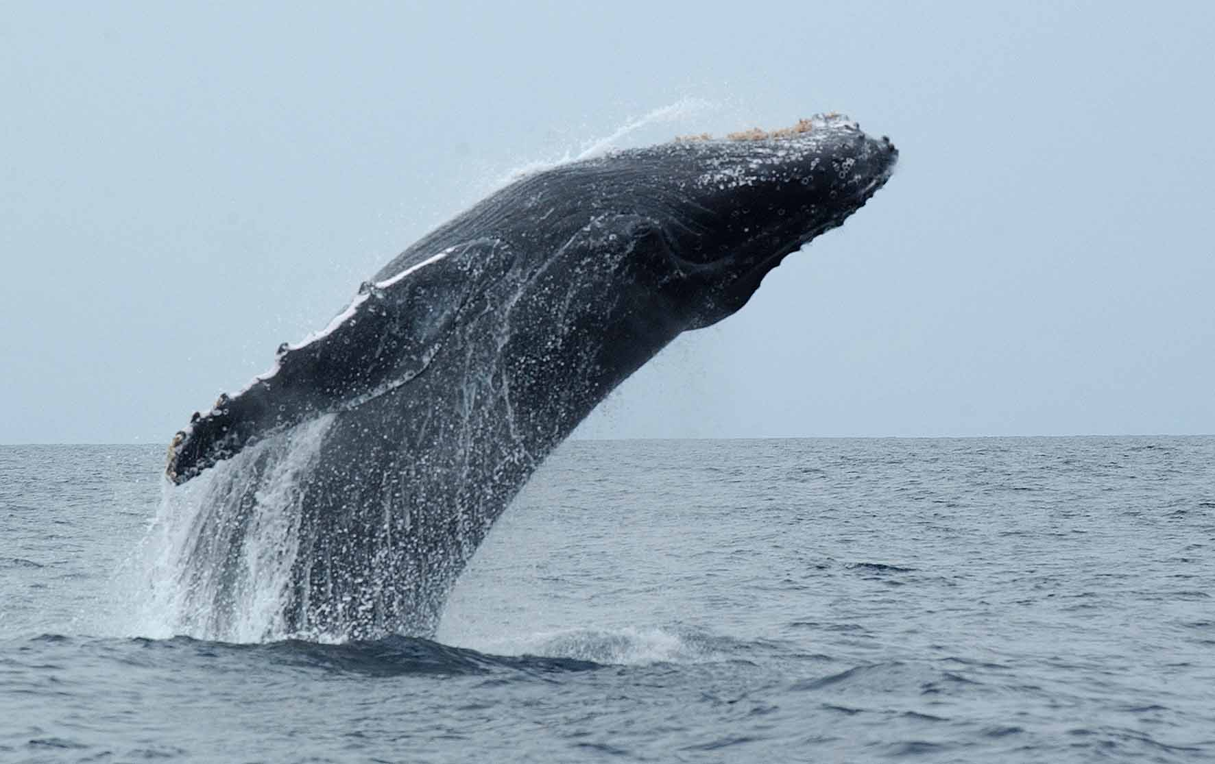 Humpback Whale Survey. Photo by Ken Findlay