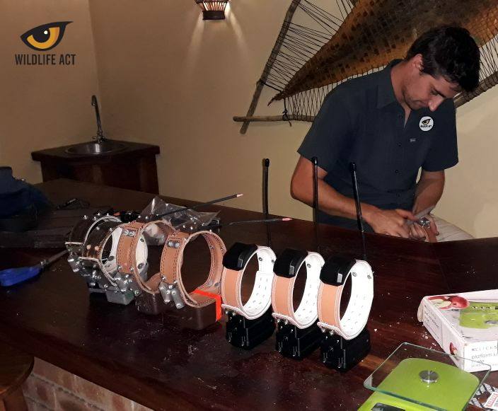With the experience gained from monitoring the entire KZN Wild Dog population, Wildlife ACT have assisted in developing and fitting GPS and VHF anti-snare collars which will ensure effective post-release monitoring of the new pack once released
