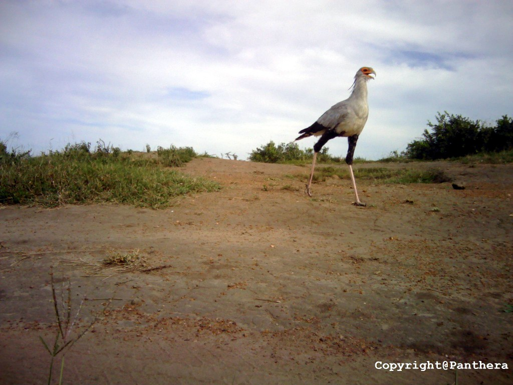 Secretary Bird (Sagittarius serpentarius)