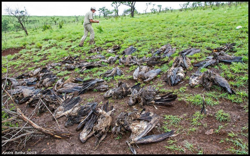 Poisoned Vultures - Why are vultures so endangered? Vulture Conservation