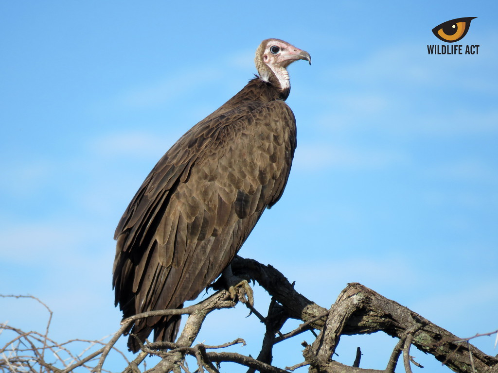Hooded Vulture Pair on uMkhuze Game Reserve - Wildlife ACT