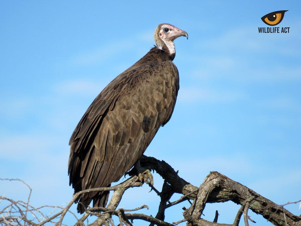 Hooded vulture (Necrosyrtes monachus)