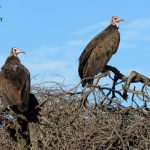 Hooded Vultures on uMkhuze Game Reserve