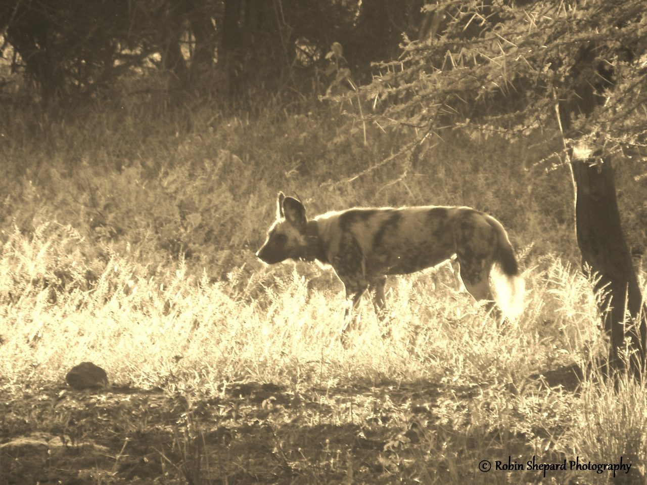 mature wildlife volunteer projects in Africa to see African Wild Dogs