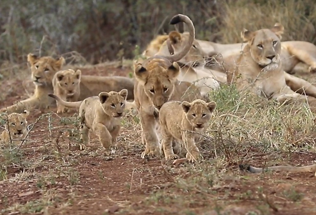 Somkhanda Welcomes Four New Lion Cubs