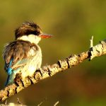 Striped Kingfisher. Photo by Kaylee van Heerden