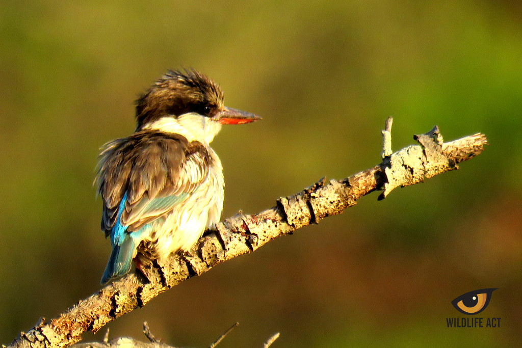 Striped Kingfisher. Photo by Kaylee van Heerden. Bird Diversity in Southern Africa