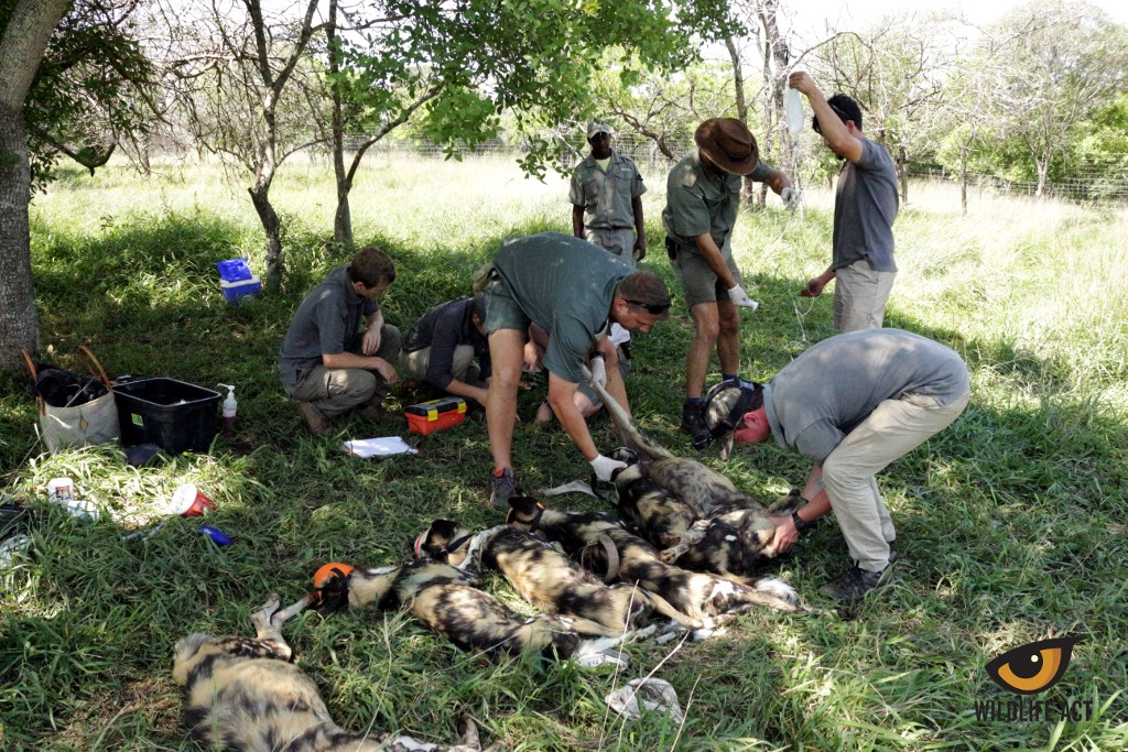 Six New African Wild Dogs Introduced to Somkhanda