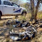Wild Dog Relocation to Madikwe Game Reserve