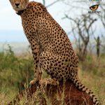 Cheetah tear marks on a male.