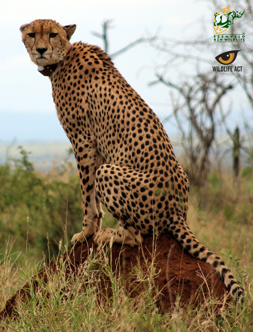 Cheetah tear marks on a male.