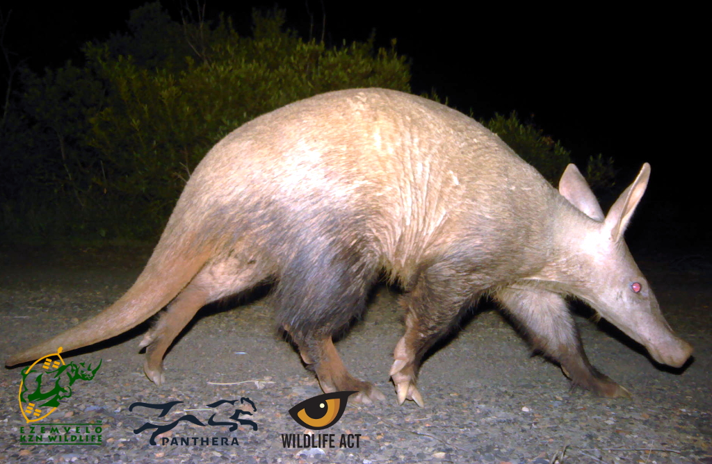 Aardvark (Orycteropus afer) - Nocturnal African Animals