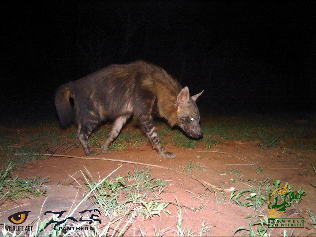Brown Hyaena (Hyaena brunnea) - Nocturnal African Animals
