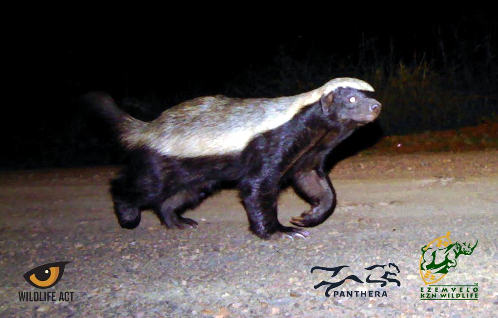Honey Badger (Mellivora capensis) - Nocturnal African Animals