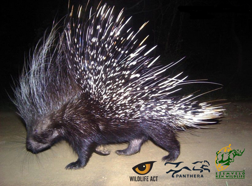Porcupine (Hystrix africaaustralis) - Nocturnal African Animals