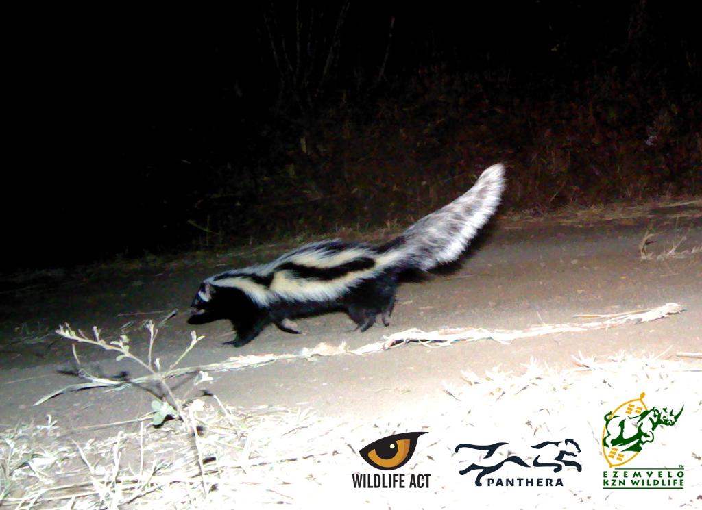 Striped Polecat (Ictonyx striatus) - Nocturnal African Animals