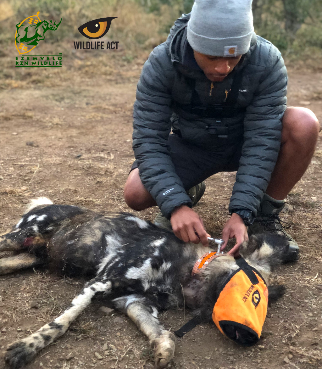 Tolga Aktas Collaring Wild Dog