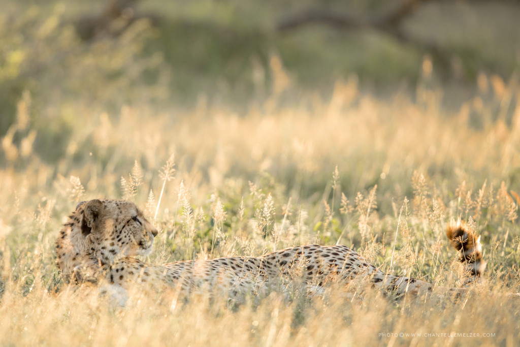 Existing threats to African wildlife species - Cheetah