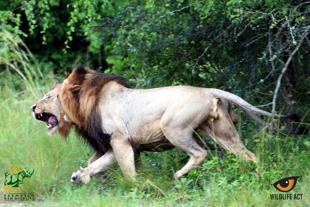 Male Tembe Lions Fighting. Photo by Rene Verhaar