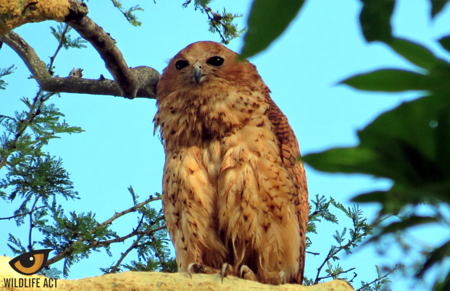 Pel's Fishing Owl (Scotopelia peli) in the  uMkhuze section of the iSimangaliso Wetland Park. Photo by Eduard Drost