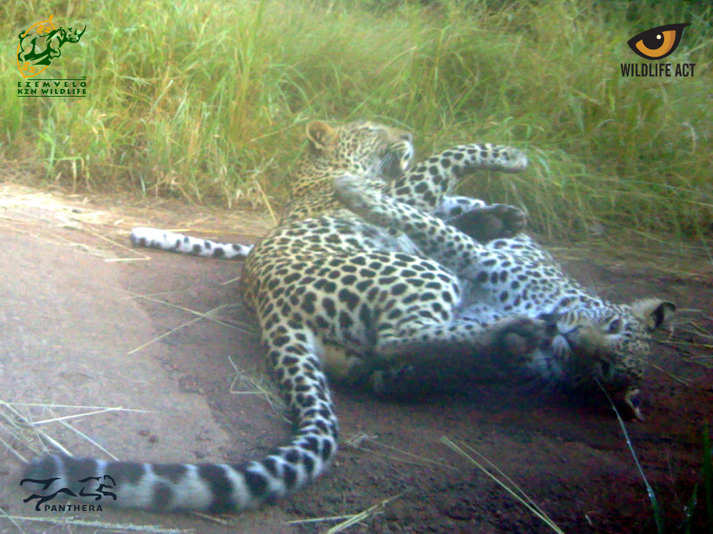Leopard cubs playing in front of a camera