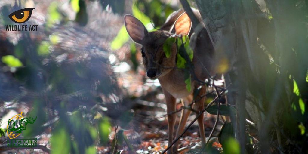 Suni (Neotragus moschatus). Photo by Angela Nicol