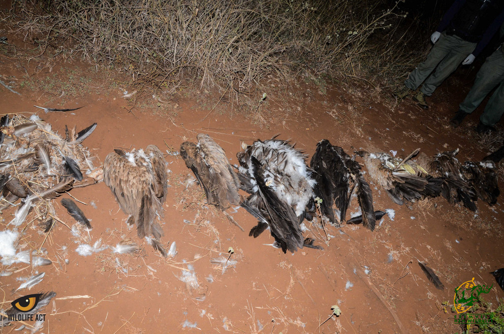 The Vulture carcasses were picked up at this most recent poisoning event
