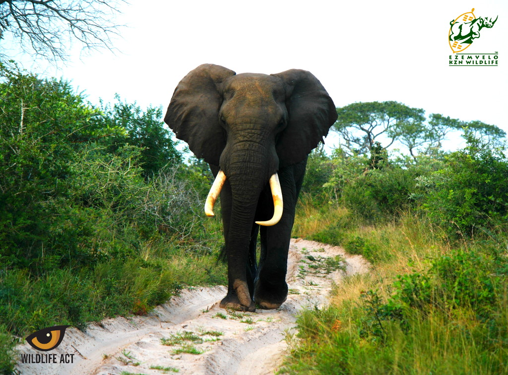 Tusker Elephant on Tembe. Photo by Michael Herbst