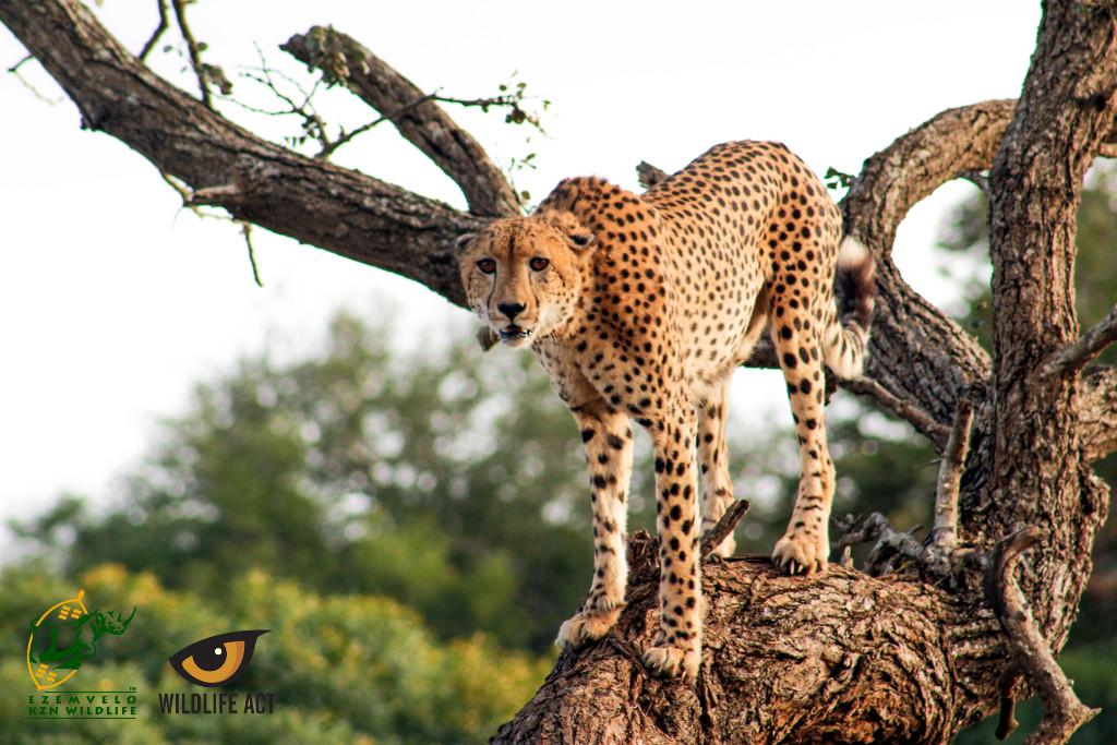 MCM18 Cheetah on uMkhuze