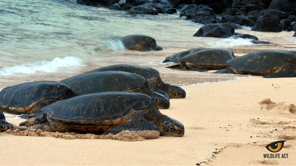 Green Sea Turtles resting on the beach.
