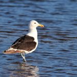 Kelp Gull affected by anthropogenic Debris